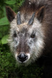 Japanese serow (Capricornis crispus). Stock Images