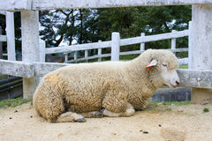 Japanese sheep Stock Photography