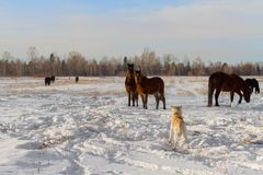 A Japanese shepherd Akita Inu dog and a herd of beautiful bay horses on a farm field in winter on a natural background. A Japanese shepherd Akita Inu dog and a stock image