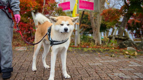 Japanese Shiba or akita inu with autumn leaves royalty free stock images