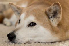 Japanese Shiba Inu Dog. Portrait of a Japanese Shiba Inu Dog relaxing Royalty Free Stock Image