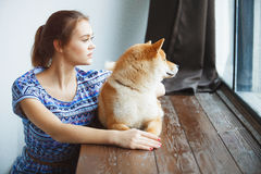 Japanese Shiba Inu dog near a window Stock Photo