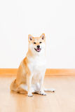 Japanese Shiba Inu dog Royalty Free Stock Photography