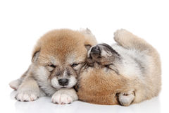 Japanese Shiba Inu puppies Royalty Free Stock Images