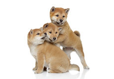 Japanese Shiba inu puppies playing Stock Photography