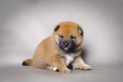 Japanese Shiba inu puppy stock photography