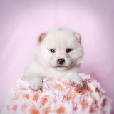 Japanese Shiba inu puppy royalty free stock photos