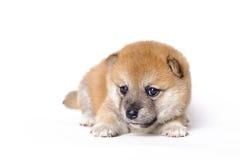 Japanese Shiba inu puppy Stock Photos