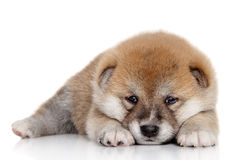 Japanese Shiba inu puppy Royalty Free Stock Images