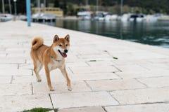 Shiba Inu pure breed dog. Japanese Shiba Inu pure breed dog. Cute shiba inu male royalty free stock image