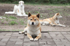 Japanese shiba inu rests Royalty Free Stock Photography