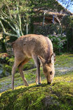 Japanese shika deer Stock Photos