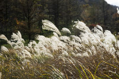 Japanese silver grass. That vegetation on the mountain Stock Images