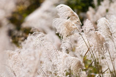 Japanese silver grass royalty free stock photo