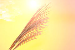 Japanese silver grass in a orange background. Pictured Japanese silver grass in a orange background Royalty Free Stock Images