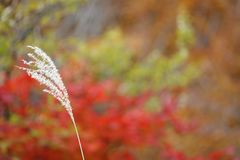 Japanese silver grass with red leaves backgound. Pictured japanese silver grass with red leaves backgound royalty free stock images