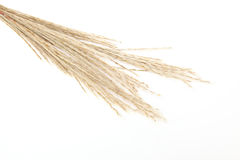 Japanese silver grass in a white background. Pictured Japanese silver grass in a white background Stock Photos