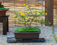 Japanese small bonsai tree Royalty Free Stock Images