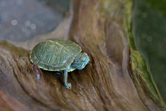 Japanese small turtles Royalty Free Stock Image