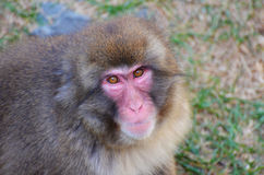 Japanese Snow Monkey Royalty Free Stock Photography