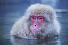 Japanese snow monkey bathing in hot spring Royalty Free Stock Images