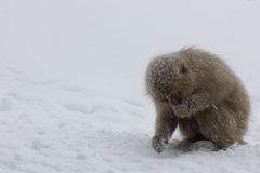 Japanese Snow monkey eating in the snow. Japanese Macaque, Jigokudani Monkey Park, Snow monkey royalty free stock photos