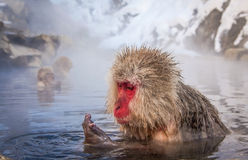 Japanese snow monkey examining hand Royalty Free Stock Photos