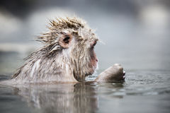 Japanese snow monkey Stock Photos
