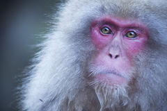 Japanese snow monkey in Jigokudani Monkey Park Royalty Free Stock Photography