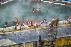 Japanese Snow monkey Macaque in hot spring On-sen , Hakodate, Japan Stock Photography