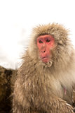 Japanese Snow Monkey Royalty Free Stock Photos