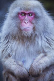 Japanese snow monkey sitting at hot spring Royalty Free Stock Image