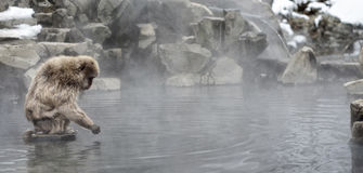 Japanese Snow Monkey Stock Images