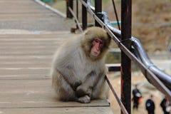 Japanese snow monkey at snow monkey park , Jigokudani , Nagano, Japan. Royalty Free Stock Image