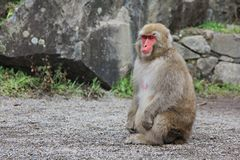 Japanese snow monkey at snow monkey park , Jigokudani , Nagano, Japan. Stock Image