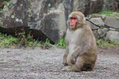 Japanese snow monkey at snow monkey park , Jigokudani , Nagano, Japan. Stock Image