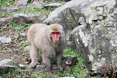 Japanese snow monkey at snow monkey park , Jigokudani , Nagano, Japan. Royalty Free Stock Photos
