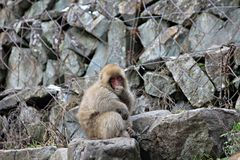 Japanese snow monkey at snow monkey park , Jigokudani , Nagano, Japan. Royalty Free Stock Image