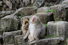 Japanese snow monkey at snow monkey park , Jigokudani , Nagano, Japan. Stock Photography