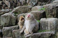 Japanese snow monkey at snow monkey park , Jigokudani , Nagano, Japan. stock photography