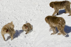 Japanese snow monkeys. Aggressive in snow,Japanese Macaque, Jigokudani Monkey Park, Snow monkey stock images