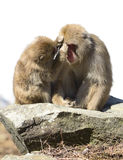 Snow monkeys grooming Stock Images