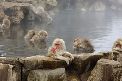 Japanese snow monkeys grooming in hot pool Stock Photo