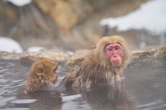 Japanese snow monkeys grooming in hot pool Japanese Macaque, Jigokudani Monkey Park, Nagano, Snow monkey. Japanese snow monkeys grooming in hot pool Japanese royalty free stock photo