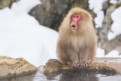 Japanese snow monkeys grooming in hot pool Japanese Macaque, Jigokudani Monkey Park, Nagano, Snow monkey. Snow monkey sitting around hot pool Royalty Free Stock Photography
