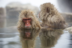 Japanese snow monkeys Royalty Free Stock Photo