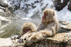 Japanese snow monkeys Royalty Free Stock Images