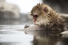 Japanese snow monkeys Royalty Free Stock Photos