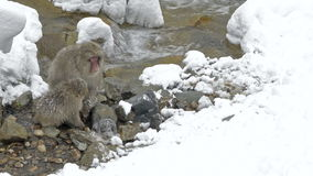 Japanese snow monkeys scavenging for food in the snow, Jigokudani, Nagano, Japan. Royalty Free Stock Images
