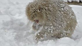 Japanese snow monkeys scavenging for food in the snow, Jigokudani, Nagano, Japan stock video footage